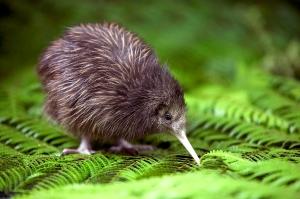 baby-kiwi