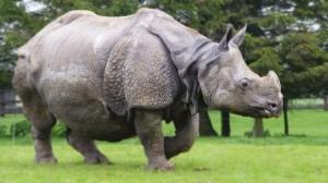 Asian-rhino-2
