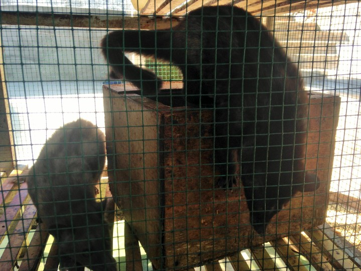Adult Civets on display at Git-Git Waterfall