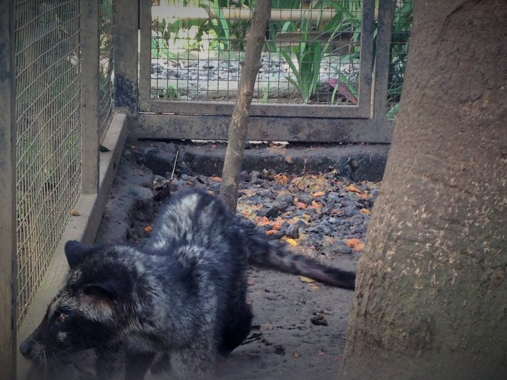 A captive Civet on a Kopi Luwak farm